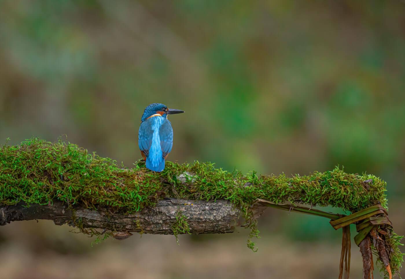 Kingfisher-albanie