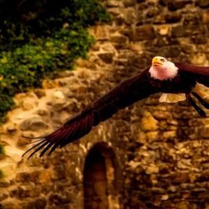 adelaar hawk-2