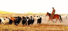 A Mongolian herder lassos a chosen goat from his herd