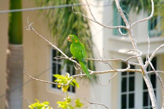 Nosy Parakeet but sitting quietly for a change