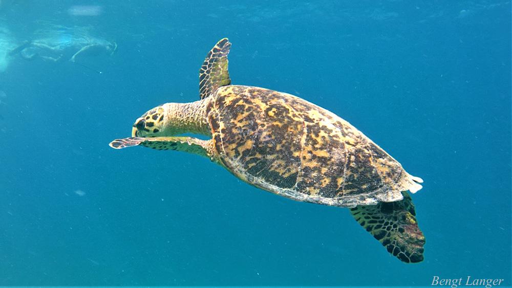 Turtle_The Maldives