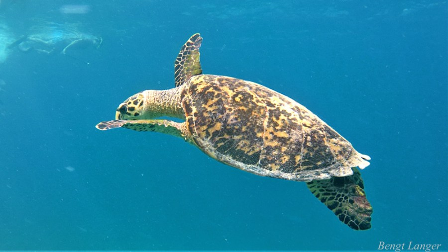 Schildkröte_Malediven