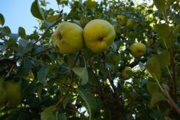 Pear tree at Core Cider House with Explore Tours Perth