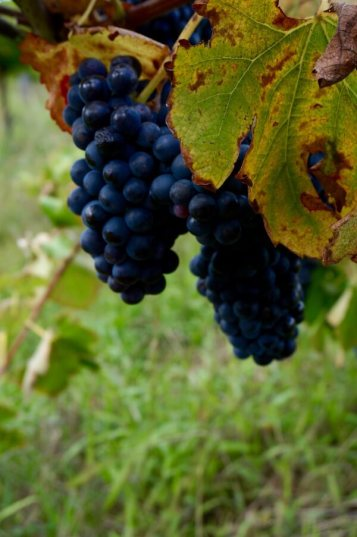 Red Grapes - Galafrey Wines