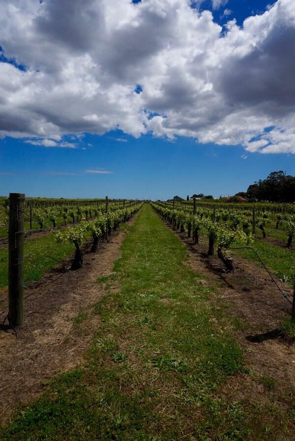 John Kosovich Chenin Blanc Vines - Swan Valley