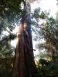 Her ses et spændende fænomen. En slyngagtig plante, som vokser udenpå et stort træ, som til sidst bliver kvalt. Tilbage vil kvæleren stå, med hul i midten, hvor træet engang stod.