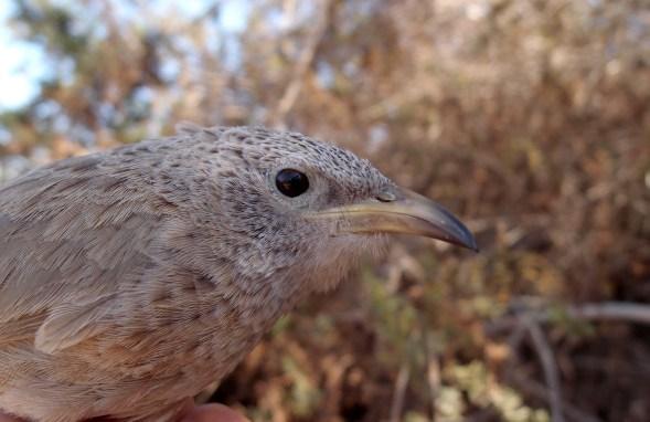 Arabisk larmdrossel, Arabian babbler,