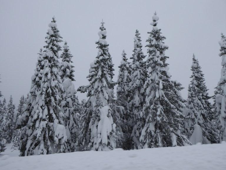 norway trees