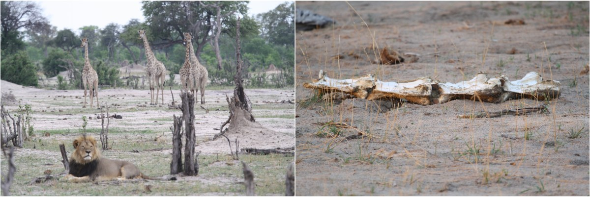 hwange giraffe lion.jpg