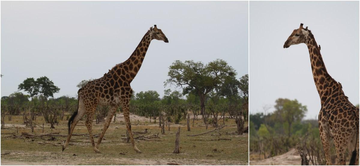 hwange giraffe.jpg