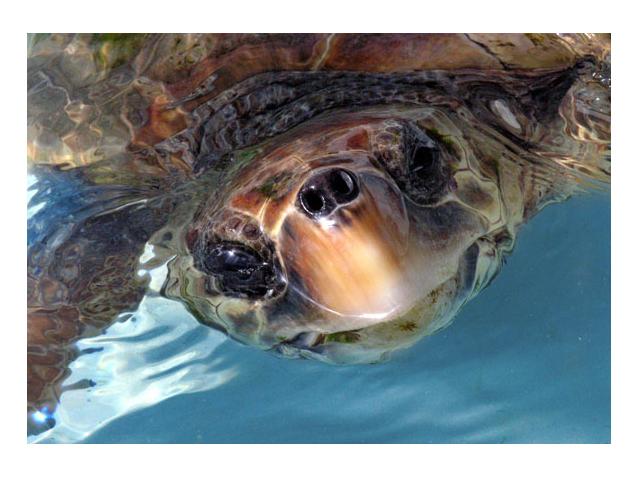 campaña-ayuda-tortugas-cram