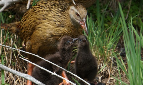 The Cheeky Weka