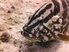 Greatest grouper ever