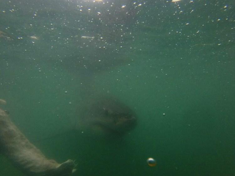 gansbaai-south-africa-cape-town-great-white-shark