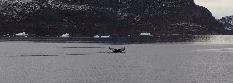 ilulissat-whale-greenland-humback-disko-bay