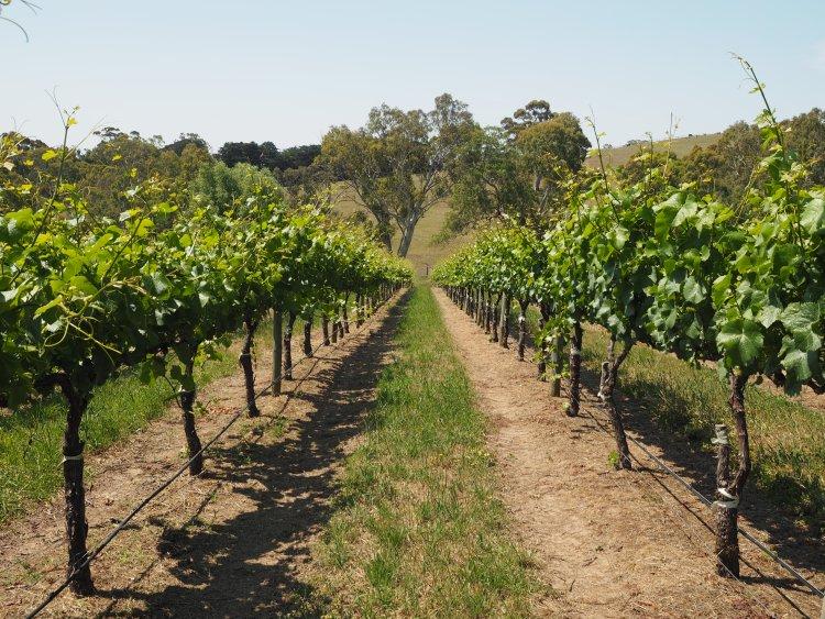 nepenthe-vineyard-south-australia