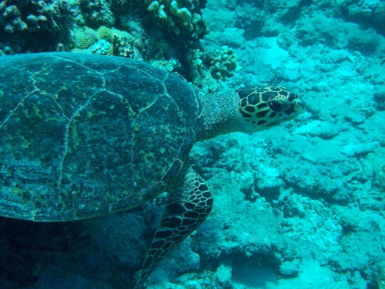 maalifushi-como-maldives-snorkel