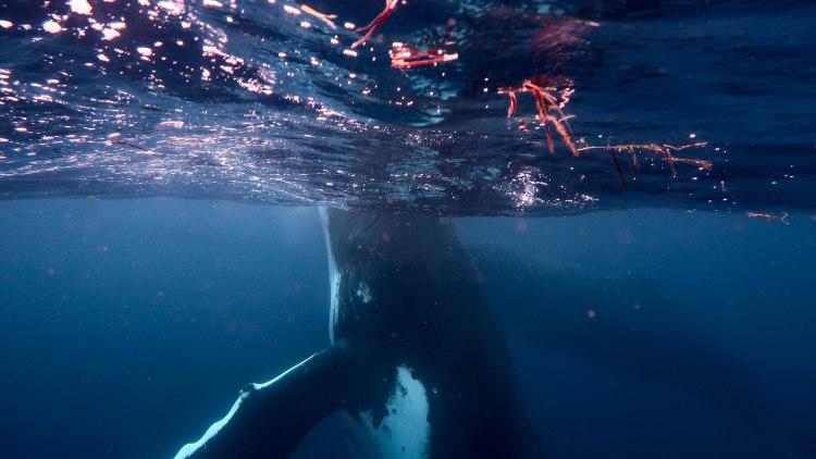 humpback-whale-snorkel-haapai-ha'apai-tonga-swim-swimming-with-travel-blog-solo-backpacking-sea-change-eco-lodge