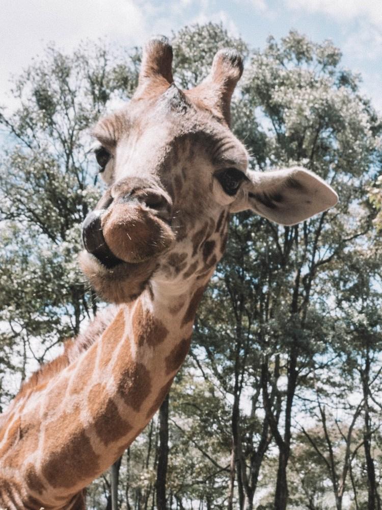 giraffe-manor-travel-blog-finland-travelliing-the-world-solo-nairobi-kenya