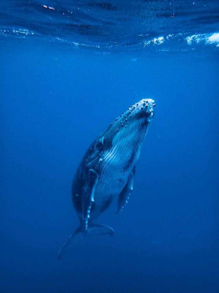 tonga-ha'apai-swimming-humpback-whales-with-sea-change-what-its-like-travel-blog
