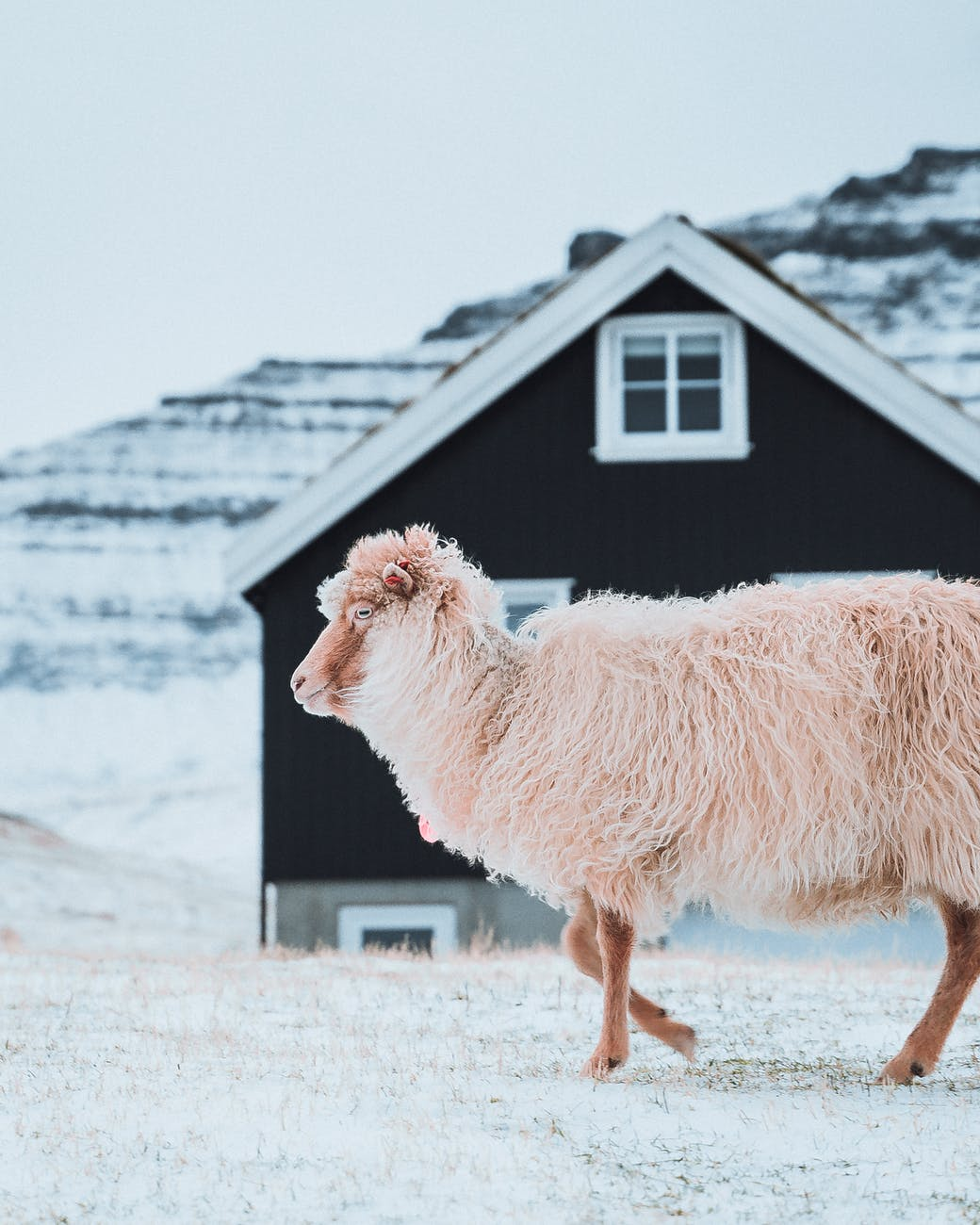white sheep on farm in countryside