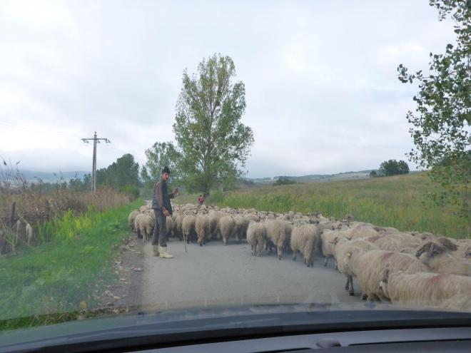 A flock of sheep in the road. Where is the sheep dog when you need him