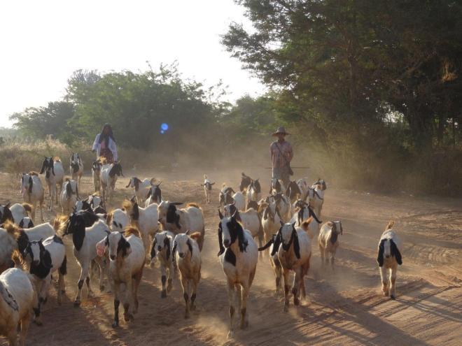 Early morning goats in Bagan, Myanmar