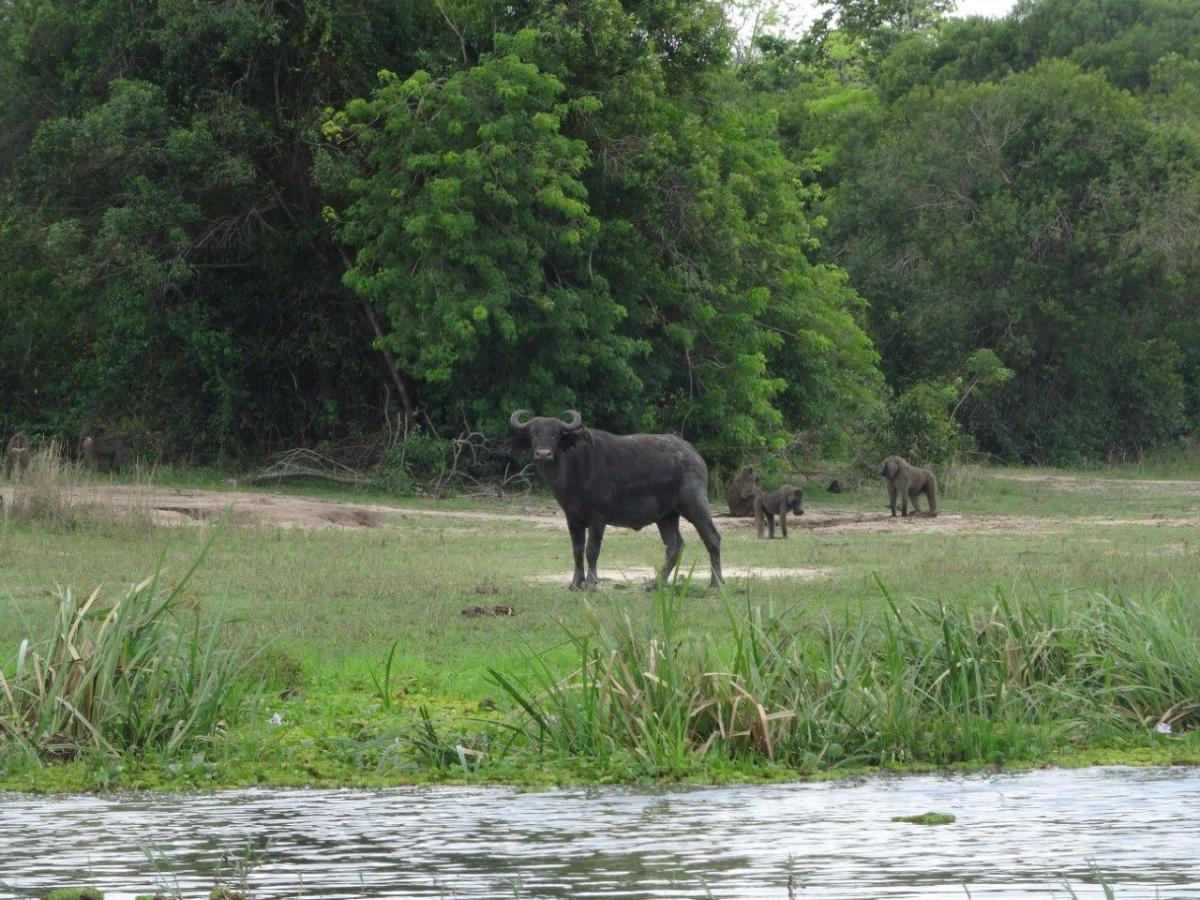 Buffalo and baboons. Murchison Falls National Park in Uganda Africa