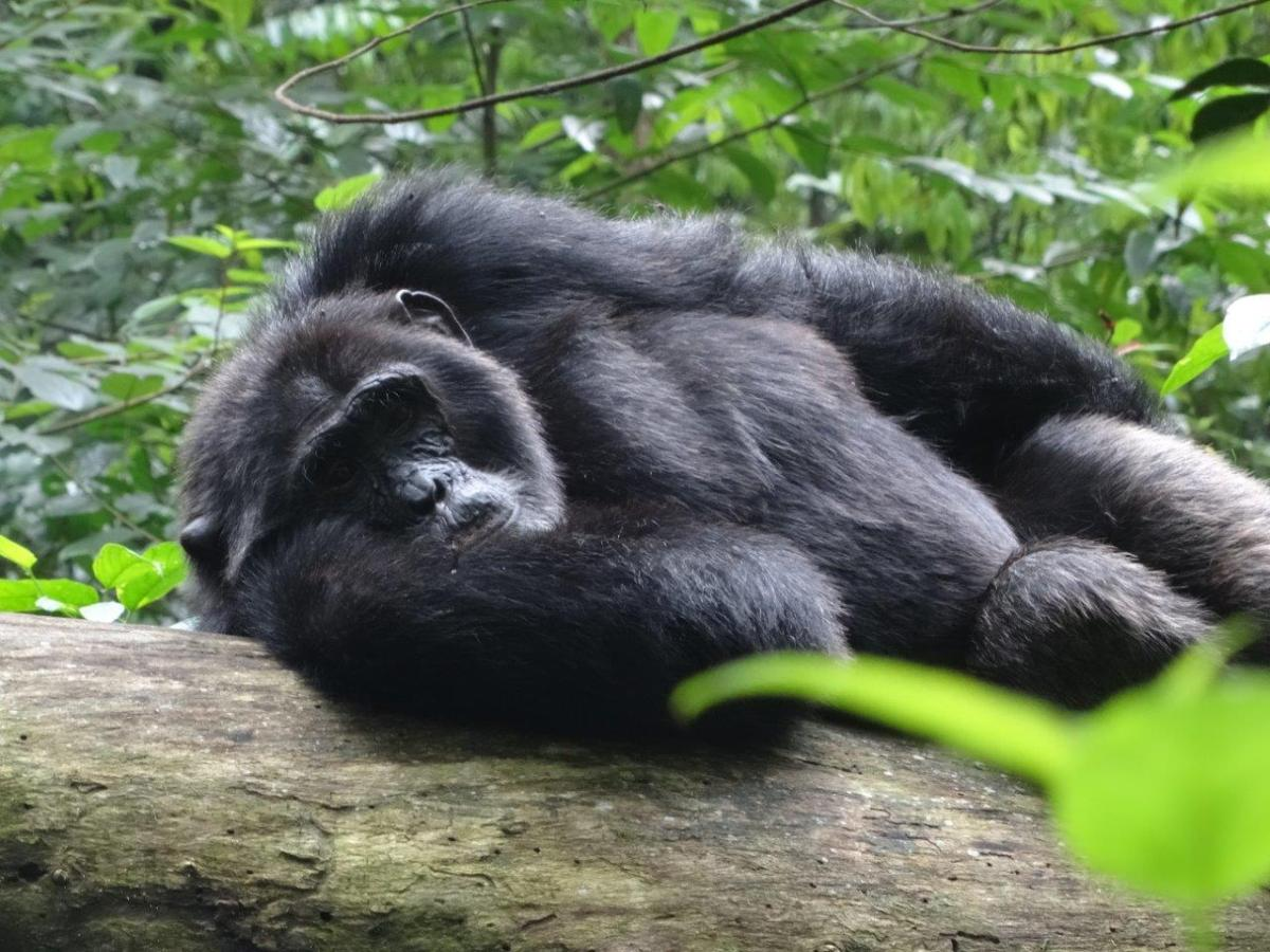 Sseebo relaxing. Chimp Tracking in Kibale Forest National Park, Uganda.