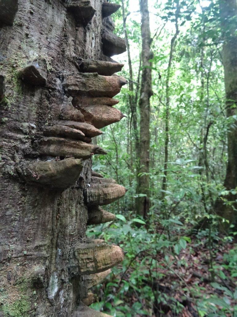The tree has grown spikes to defend itself against elephants