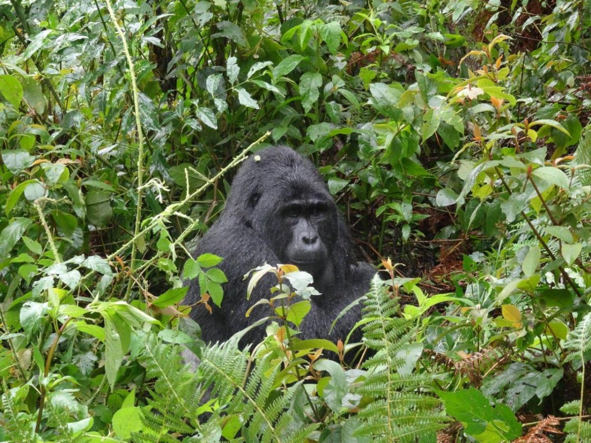 First sight of the silverback male. Gorilla trekking in Bwindi. Ruhija, Uganda.