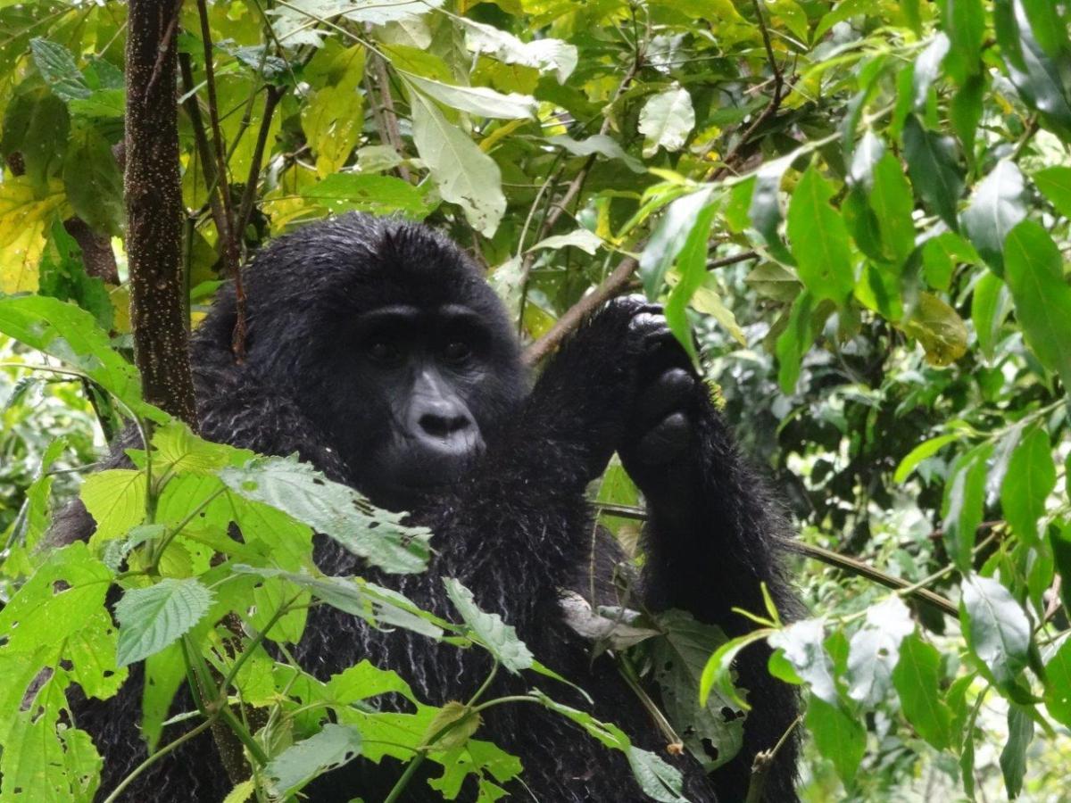 Gorilla in a tree. Gorilla trekking in Bwindi. Ruhija, Uganda.