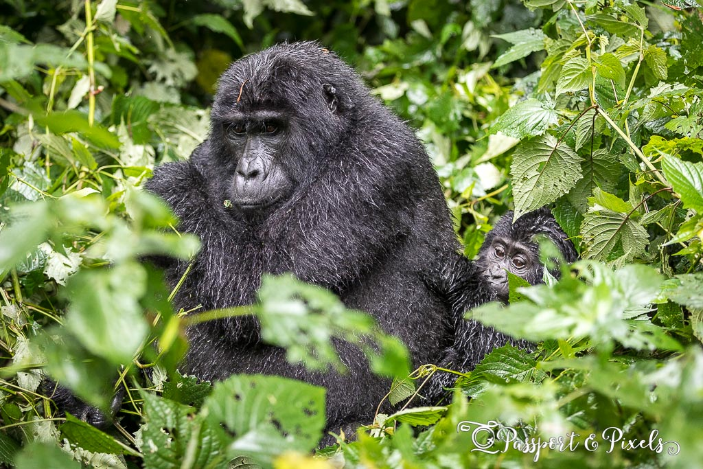 Gorilla with her child. Gorilla trekking in Bwindi. Ruhija, Uganda.
