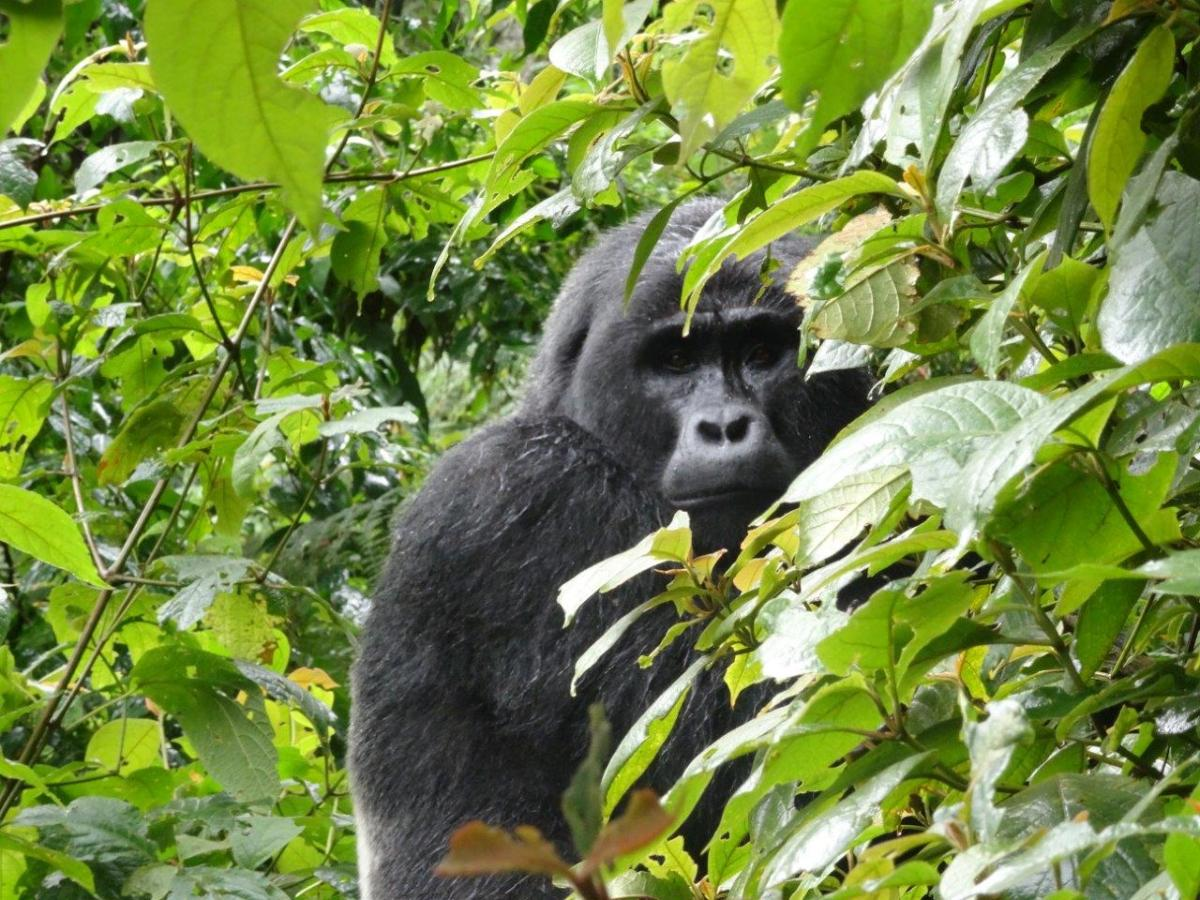 You looking at me. Gorilla trekking in Bwindi. Ruhija, Uganda.