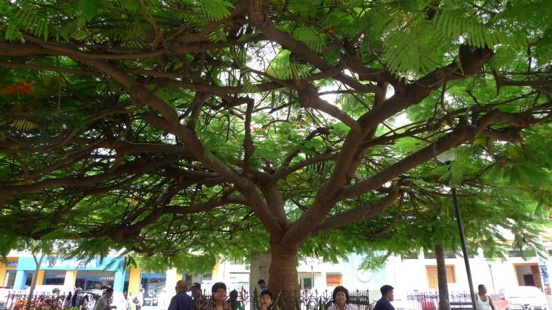 P1020534 Manta Tree Downtown