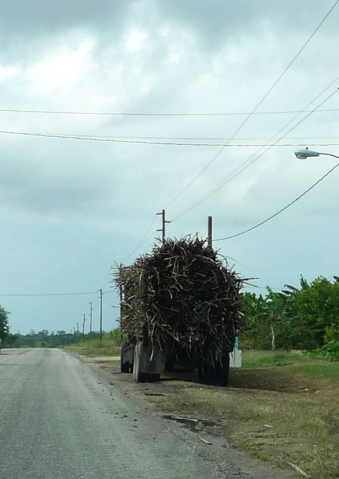 P1070404 Sugarcane