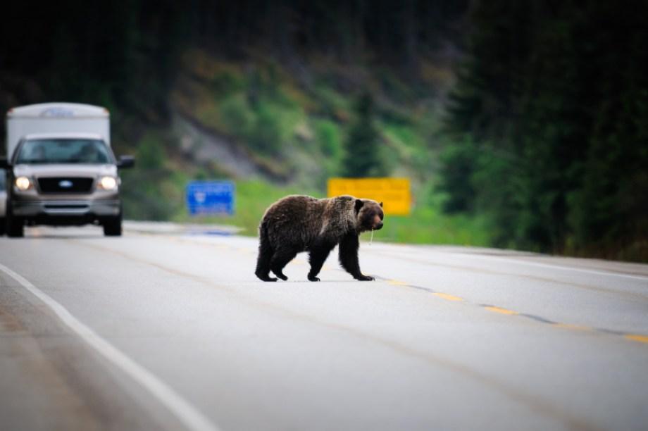 Alberta Rocky Mtns Bear