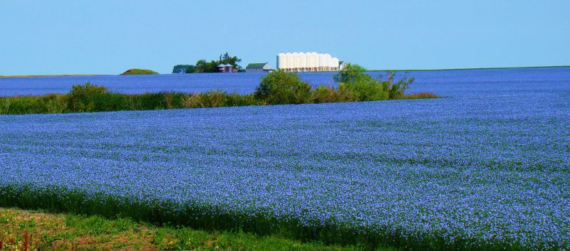 Saskatchewan Field Of Flax