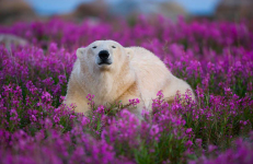Bear In Purple Flowers Yuko