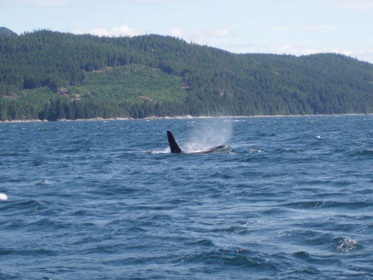 De eerste orka van de dag!
