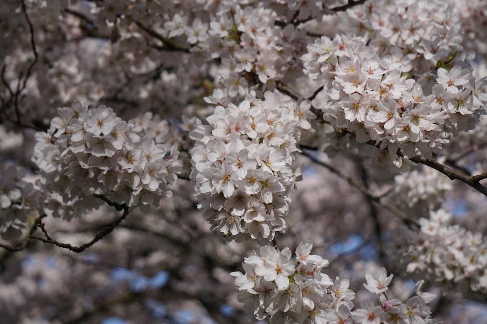 Japanse kersenbloesem Amsterdamse Bos