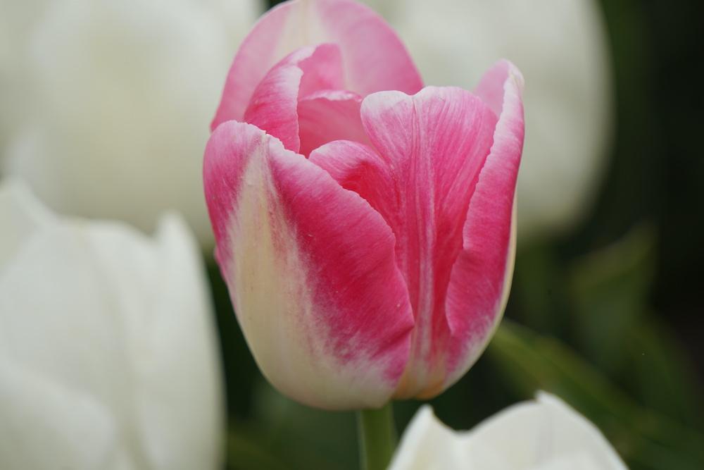 Tulpenvelden Goeree Overflakkee