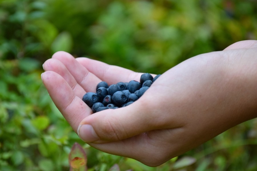trip to lapland in summer berry picking in forest