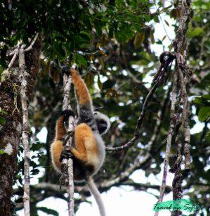 ¿qué es un lemur?