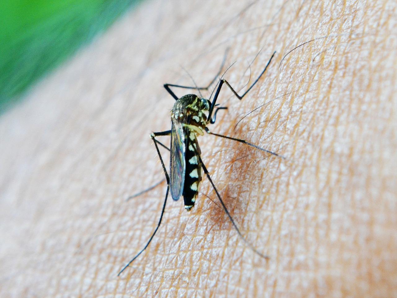 mosquito fiebre amarilla