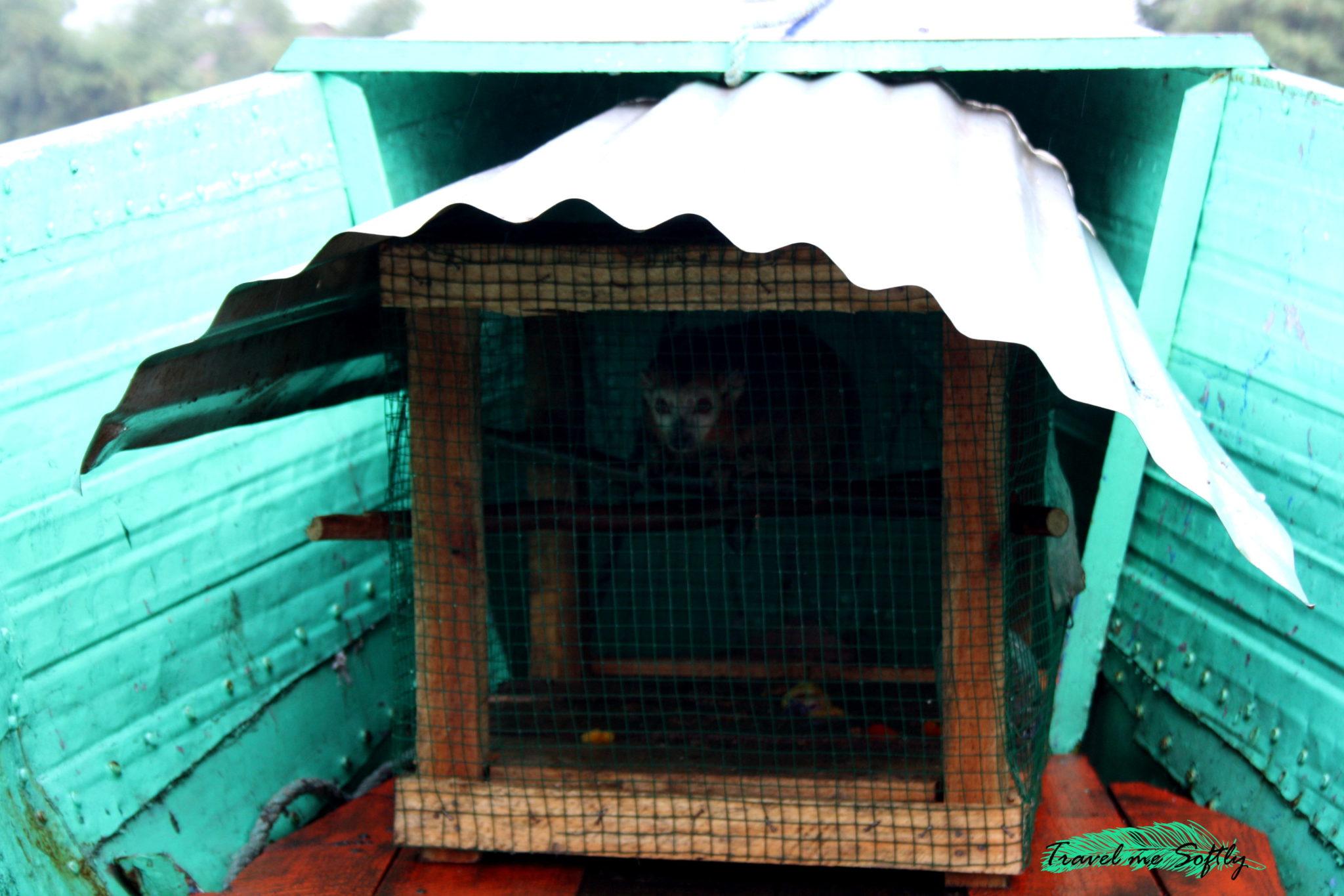 Lémures, lemur coronado