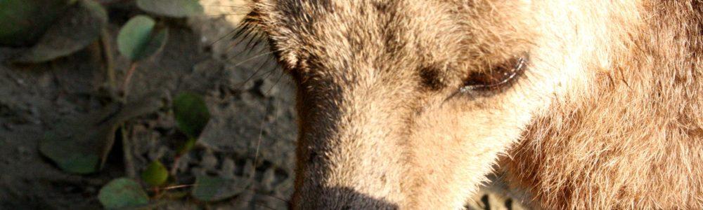 Comer carne de canguro: Epic Fail
