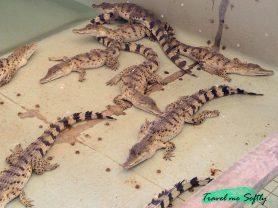 crias de cocodrilo Palawan
