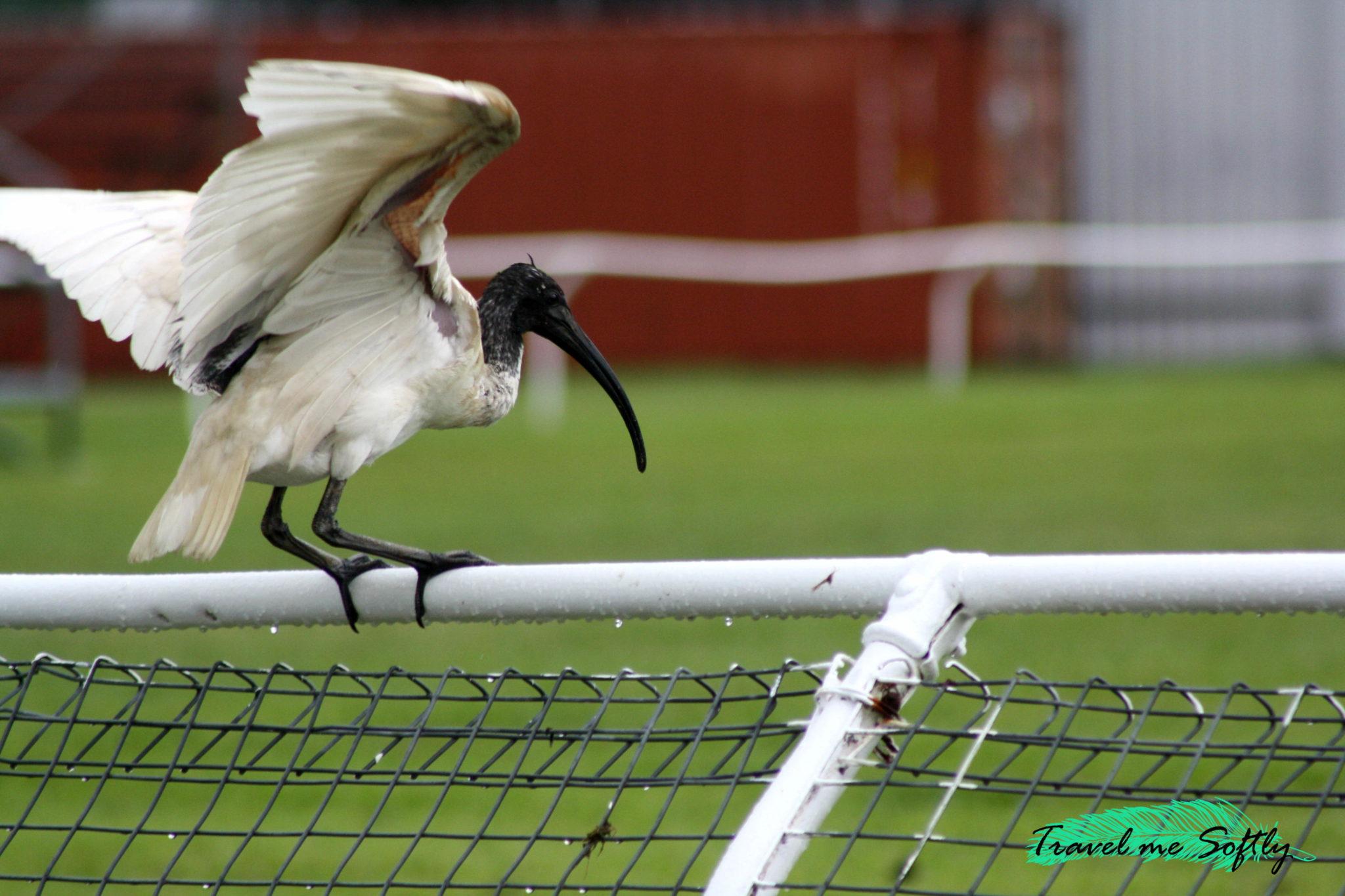 ibis tully showground