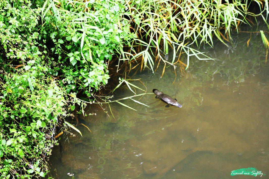 ornitorrinco en Broken River